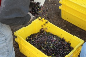 Filling the yellow lugs with hand harvested olives.
