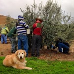 Sadie the olive grove dog.